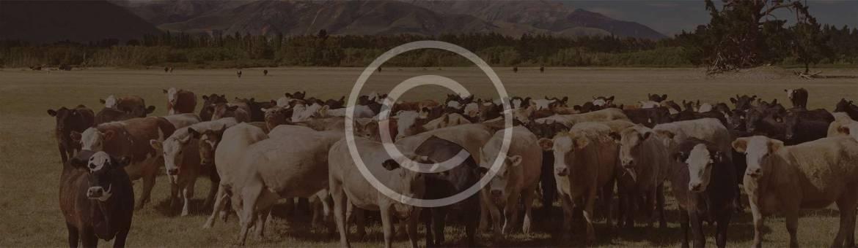 parr_cows.jpg