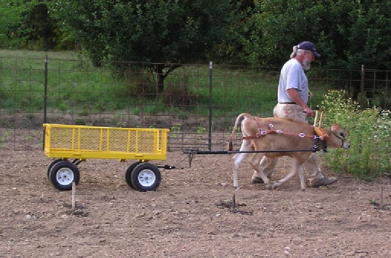 calf-ox-training-in-garden.jpg
