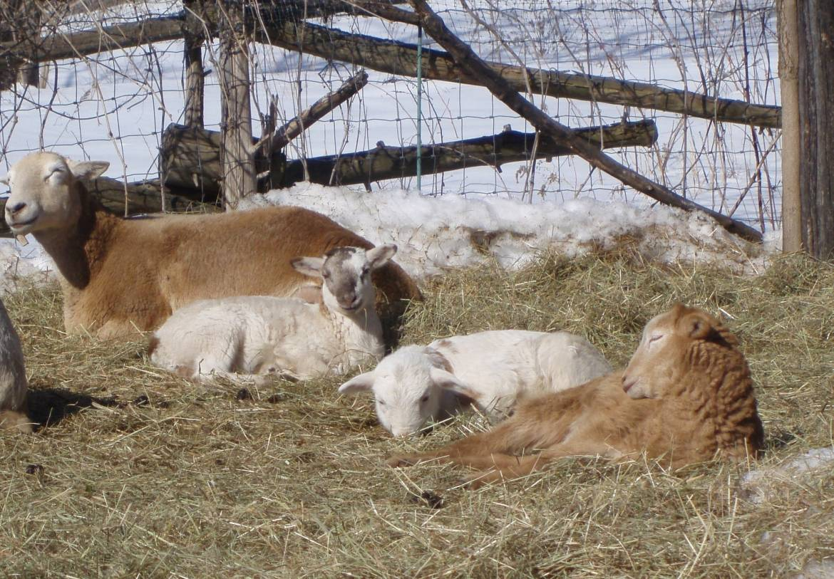 March-lambs-resting-in-yard-2019.jpg