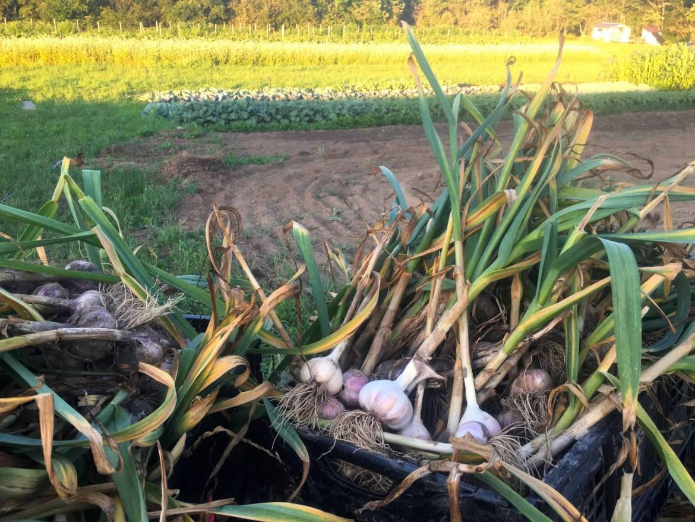 garlic-scaled.jpg